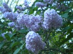 Lilacs photo (c) Joanne Brokaw all rights reserved