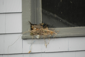 After a week, Mrs. Robin finally has a secure nest - with a little help from darling husband.