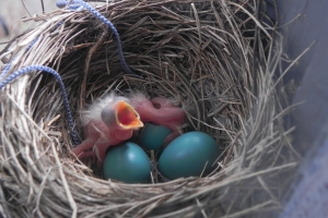 The first of Mrs. Robin's eggs have hatched!